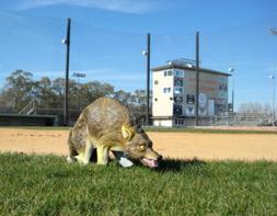 Coyote Replica 3D
