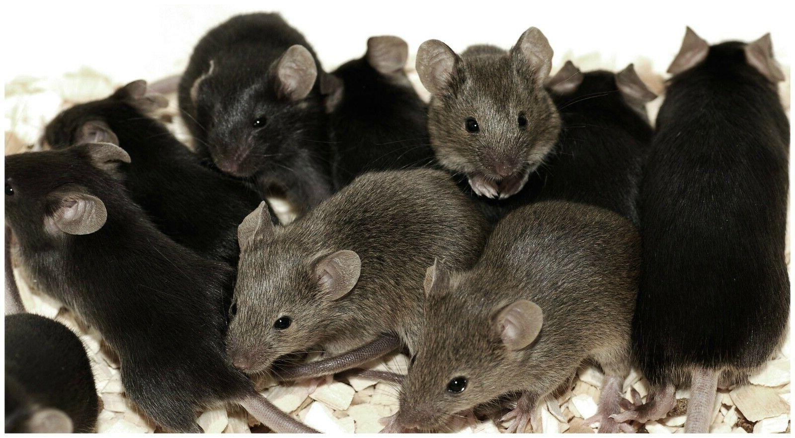 10 LARGE Rat w/ Bait Rodent Pest