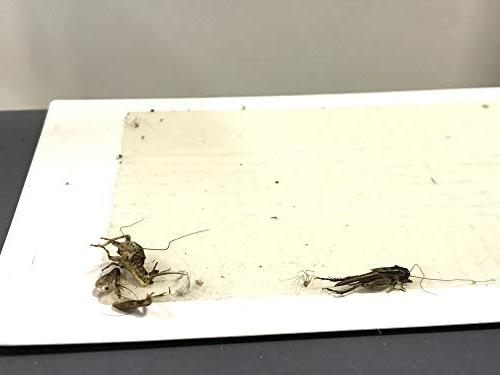 ALAZCO Glue Traps - Excellent Quality Boards Mouse Trap Insects Spiders Crickets Mice & NON-TOXIC IN