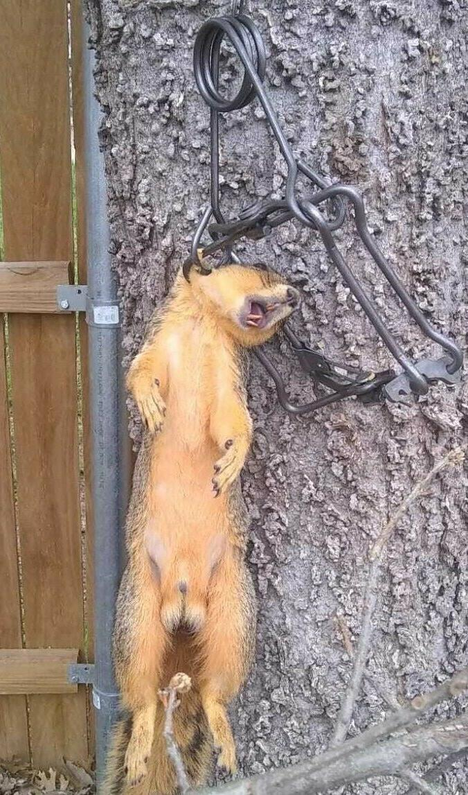 no 110 magnum body trap capture squirrels