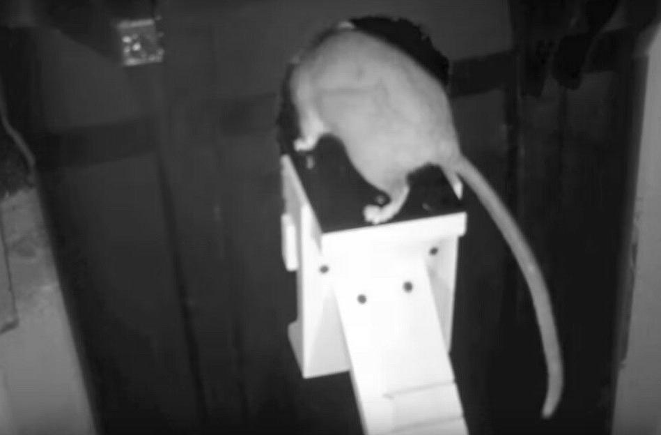 Original Dunk The Trap Squirrel Trap Auto Reset MADE